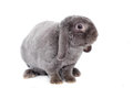 Grey lop eared rabbit rex breed on white isolated background Stock Photos
