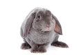 Grey lop eared rabbit rex breed on white isolated background Stock Photography