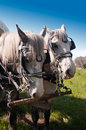 Grey Mares Stock Photos