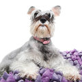 Grey miniature schnauzer pet dog against white Stock Photo