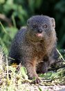 Grey mongoose cute hunting in the african undergrowth Royalty Free Stock Image