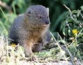 Grey mongoose cute hunting in the african undergrowth Stock Photography