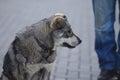 Grey mongrel dog at street Stock Image