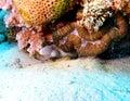Grey moray o moray eel red sea sazonado con pimienta Imagen de archivo libre de regalías