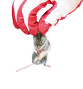 Grey mouse holding by the scruff in hand disinfectant worker glove closeup isolated Stock Photo