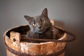 Grey nebelung cat in wooden bucket a sits an old well the is a rare breed similar to a russian blue except with medium Stock Photo