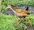 Grey-necked Wood-rail Stock Image