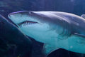 Grey nurse shark close up in tank Royalty Free Stock Image