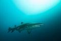 Grey nurse shark med solljus Royaltyfria Bilder