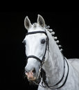 Grey orlov trotter horse on black background with a classic bosal style hackamore Stock Photo