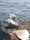 Grey pacific pelican water background Royalty Free Stock Images