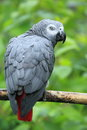 Grey parrot the african sitting on the branch Royalty Free Stock Image
