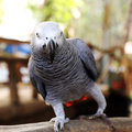Grey parrot close up on a african Stock Photography