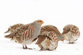 Grey Partridge Royalty Free Stock Image
