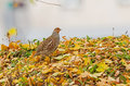 Grey partridge in autumn a is living on the island of nemunas river kaunas lithuania Stock Image