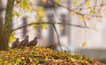 Grey partridge group in the forest a of partridges perdix perdix moves on autumn colored leaf covered ground of a lithuanian Stock Photos