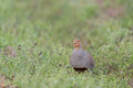 Grey partridge walks in a meadow Royalty Free Stock Photos