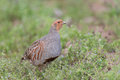 Grey partridge walks in a meadow Stock Photography