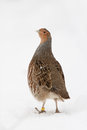 Grey partridge walks snow Royalty Free Stock Photos