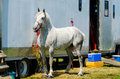 Grey percheron draft horse standing beside trailer Stock Photos