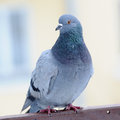 Grey Pigeon Close-Up Stock Photography