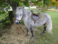 Grey pony photo of a with straw Royalty Free Stock Photo