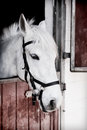 Grey pony years old inside a stable Royalty Free Stock Images