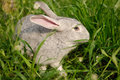 A grey rabbit in the grass this is it is one of my friends farmed rabbits breeding industry is emerging chinese agricultural Royalty Free Stock Images