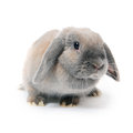 Grey rabbit isolated on white background the Royalty Free Stock Photography