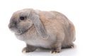 Grey rabbit isolated on white background the Stock Photos