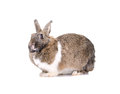 Grey rabbit, isolated on white background Royalty Free Stock Image