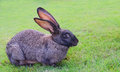 Grey rabbit sits on the green grass
