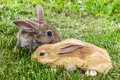Grey and red young rabbits. Royalty Free Stock Photo