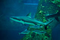 Grey reef shark (Carcharhinus amblyrhynchus) Royalty Free Stock Photo
