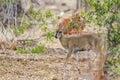 Grey rhebok in Kruger National park, South Africa
