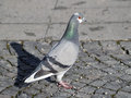 Grey rock dove or common pigeon the a domestic bird in the street Stock Photography