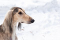 Grey saluki portrait a of on white Stock Photography