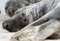 A grey seal Stock Photo
