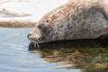 Grey seal Arkivfoton