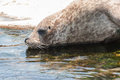 Grey seal Imagem de Stock Royalty Free