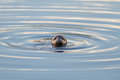 Grey seal Fotografia de Stock Royalty Free
