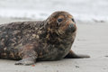 Grey Seal (Halichoerus grypus) Royalty Free Stock Images
