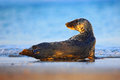 Grey Seal, Halichoerus grypus, detail portrait in the blue water, wave in the background, animal in the nature sea habitat, Grey s Royalty Free Stock Photo