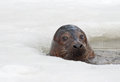 Grey seal a halichoerus grypus emerges from ice hole Stock Photo