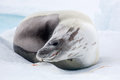 The grey seal has a rest on the snow, Antarctica Royalty Free Stock Photo