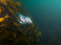 Grey seal in kelp wide angle shot of an inquisitive young playing at north wames at the farne islands northumberland uk Royalty Free Stock Photos