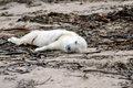 Grey Seal Pup Royalty Free Stock Photography