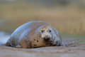 Grey seal with pup lying on ground Stock Photo