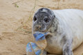 A Grey Seal pup with Rubbish. Royalty Free Stock Photo
