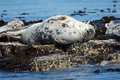 Grey seal on rocks Royalty Free Stock Photo